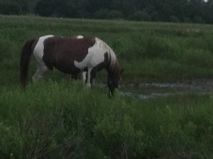Wild pony on the shore of Assateague Island.